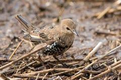Juvenile starling. Juvenile European Starling on a wet coastal meadow Royalty Free Stock Photo
