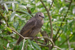 Juvenile Starling Royalty Free Stock Images