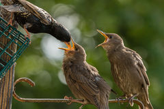 Juvenile Starlings being fed by adult with mouths open. Adult Starling feeding juveniles in the early morning Stock Image