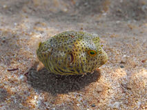 Free Juvenile Stellate Puffer (Arothron Stellatus) Fish Swimming In T Stock Photos - 77827553