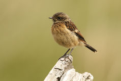 A juvenile Stonechat (Saxicola torquata) perched on a tree stump. Royalty Free Stock Photography