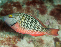 Juvenile Stoplight Parrotfish. Sparisoma viride, picture taken on a shallow water reef in Broward County Florida Royalty Free Stock Photography