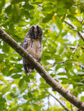 Juvenile Stygian Owl looking down Stock Photography