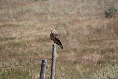 Juvenile Swainson& x27;s Hawk perched. Raptor Swainson& x27;s Hawk on fence post Royalty Free Stock Photography