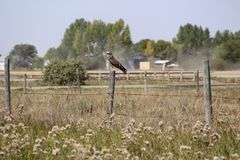 Juvenile Swainson& x27;s Hawk perched. Raptor Swainson& x27;s Hawk on fence post Stock Photography