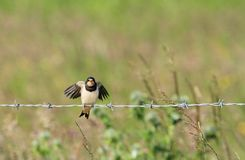Juvenile swallow flapping wings on barbedwire Royalty Free Stock Image