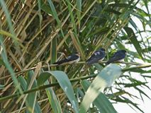 Juvenile swallows. Recently fledged barn swallow chicks sitting on a reed stem and waiting to be fed royalty free stock photo