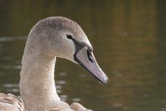 A juvenile swan royalty free stock image