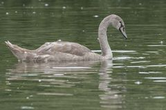 A juvenile swan on the Boating Lake on Southampton Common. A young swan on the Boating Lake at Southampton Common stock photos