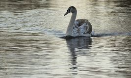 A juvenile swan in the early morning light on the Boating Lake, Southampton Common, royalty free stock photos