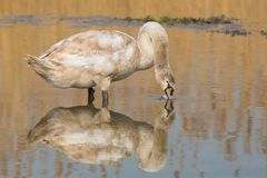 Juvenile Swan foraging in a pond. Royalty Free Stock Photography