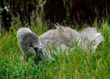 Juvenile swan in the grass. Juvenile swan relaxing in the grass stock photo
