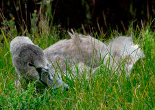 Juvenile swan in the grass. Juvenile swan relaxing in the grass stock image
