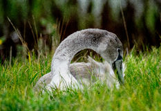 Juvenile swan in the grass. Juvenile swan relaxing in the grass royalty free stock photography