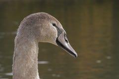A juvenile swan stock image