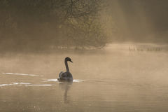 Juvenile swan in the mist on Southampton Common royalty free stock photo