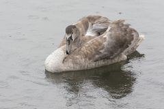 A juvenile swan in the rain. On the River Itchen, Southampton, Hampshire, UK Royalty Free Stock Photography