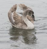 A juvenile swan in the rain. On the River Itchen, Southampton, Hampshire, UK Stock Images