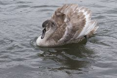 A juvenile swan in the rain stock photo