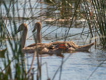 Juvenile swan showing his leg. When swimming  in Neajlov delta at Comana lake in natural environment Stock Image