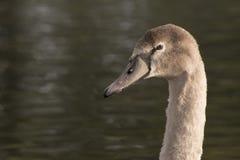 A juvenile swan on Southampton Common. A cygnet head and neck shot on Southampton Common stock photos