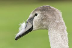 A juvenile swan on Southampton Common royalty free stock photo