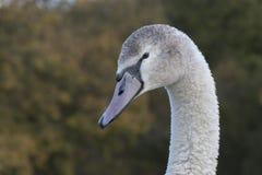 A juvenile swan. A  juvenile swan at Southampton Common, Hampshire, UK Royalty Free Stock Photo