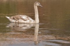 A juvenile swan on Southampton Common. A juvenile mute swan on the ornamental Lake on Southampton Common royalty free stock photography