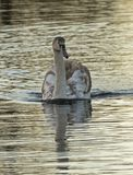 A juvenile swan in the early morning golden light on the Boating Lake, Southampton Common, royalty free stock photography