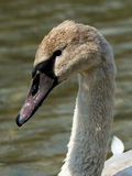 Juvenile Swan. With water drops on head stock image