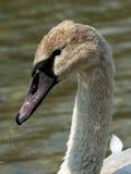 Juvenile Swan Stock Image