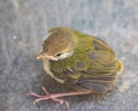 Juvenile Tailor Bird top view stock images