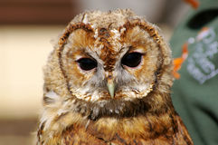 Juvenile Tawny Owl Stock Image