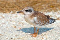 Juvenile Tern Forster Стоковая Фотография RF