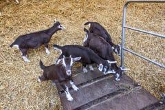 Juvenile Thyringen goats. In goatfarm at Misso, Estonia stock photos