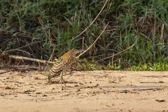 Juvenile Tiger Heron Stock Image