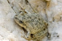Juvenile tree frog Royalty Free Stock Photo