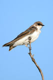 Juvenile Tree Swallow Stock Photos