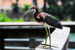 Juvenile Tricolored Heron Bird Stock Image