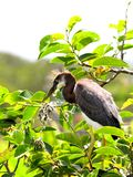 Juvenile Tricolored Heron in nest in wetlands Stock Photos