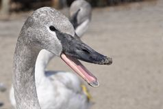 Juvenile Trumpeter swan. Closeup o of juvenile Trumpeter swan head with open beak Royalty Free Stock Photography
