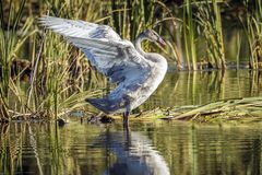 Juvenile tundra swan flapping its wings. A juvenile tundra swan flaps it wings at Turnbull Wildlife Refuge in Cheney, Washington stock photos