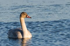 Juvenile Tundra Swan. Juvenile Tundra Swan on water stock image