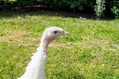 Juvenile turkey Royalty Free Stock Images