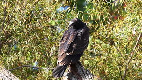 Juvenile Turkey Vulture, Cathartes aura stock footage