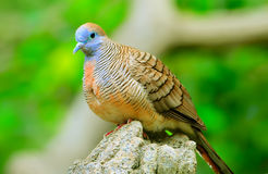 Turtle dove. A juvenile turtle dove perched on the tree trunk stock photography