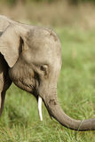 Juvenile tusker Stock Photos