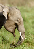 A Juvenile tusker eating grass Royalty Free Stock Photos