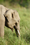 Juvenile tusker in the grassland of Dhikala Stock Photo