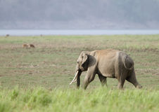 A Juvenile tusker in the grassland of Dhikala Royalty Free Stock Photos